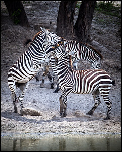 Zebra, Tarangire NP