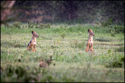 Black backed jackals, Tarangire NP