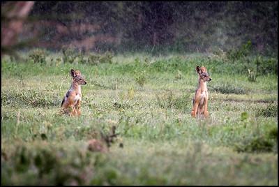Black backed jackals, Tarangire NP