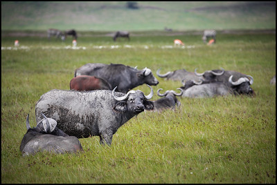 Buffalo herd, Ngorongoro Conservation Area
