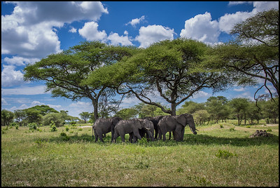 Elephant herd under acacia trees, Tarangire NP