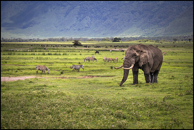 Elephant, Ngorongoro Conservation Area