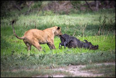 Lioness with kill, Tarangire NP