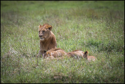 Adolescent lions, Ngorongoro Conservation Area