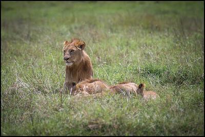 Adolescent lions, Ngorongoro Conservation Area