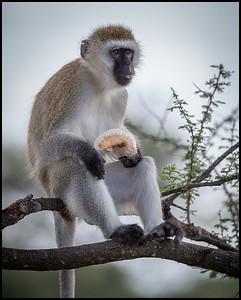 Vervet monkey, Tarangire NP