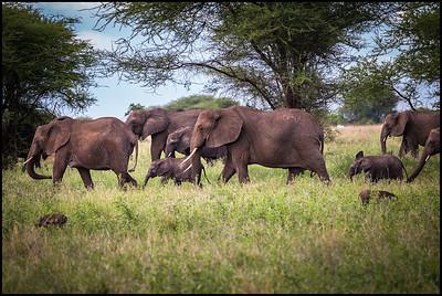 Elephant herd, Tarangire NP