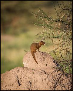Dwarf mongoose, Tarangire NP