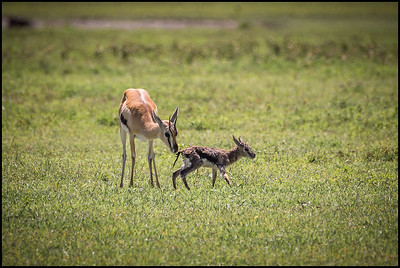 Thompson's gazelle mother and calf's first steps, Ngorongoro Conservation Area