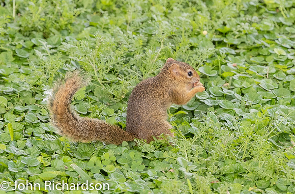 Unstriped Ground Squirrel (Xerus rutilus) - Tarangire