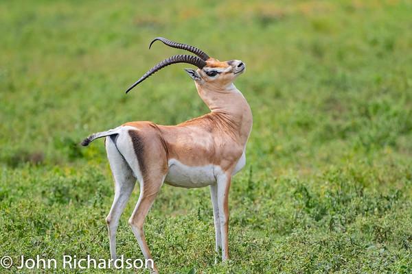 Grant's Gazelle (Nanger granti) - Ndutu
