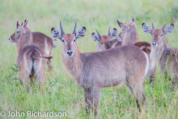 Common Waterbuck (Kobus ellipsiprymnus thikae, Ellipsen Waterbuck, Ringed Waterbuck) - Tarangire