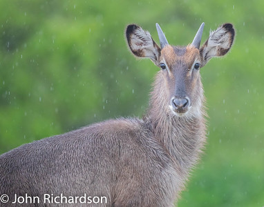 Common Waterbuck (Kobus ellipsiprymnus thikae, Ellipsen Waterbuck, Ringed Waterbuck) - Lake Manyara