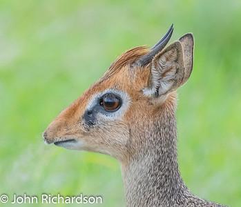 Kirk's Dik-dik (Madoqua kirkii) - Serengeti
