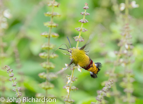 Pellucid Hawk Moth (Cephonodes hylas,Coffee Bee Hawkmoth, Coffee Clearwing)  male - Ndutu