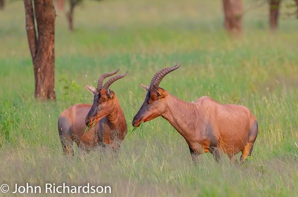 Topi (Damaliscus lunatus jimela) - Ngorongoro