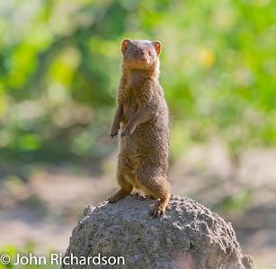 Dwarf Mongoose (Helogale parvula) - Tarangire