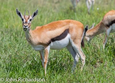Thomson's Gazelle (Eudorcas thomsonii) - Ngorongoro