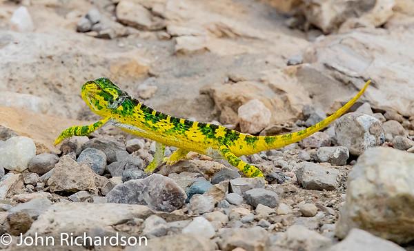 Flap-necked Chameleon (Chamaeleo dilepis) - Ndutu