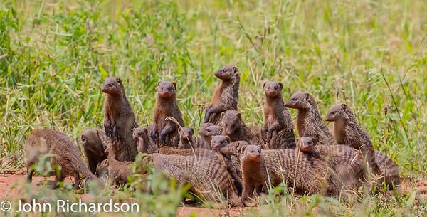 Banded Mongoose (Mungos mungo) - Tarangire