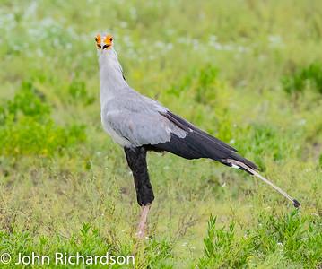 Secretarybird (Sagittarius serpentarius) - Ngorongoro