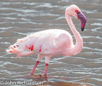 Lesser Flamingo (Phoeniconaias minor) - Serengeti