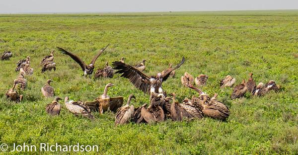 Lappet-faced Vulture (Nubian Vulture, Torgos tracheliotos), White-backed Vulture (Gyps africanus), Ruppell's Griffon Vulture (Gyps rueppellii, Ruppell's Vulture) - Ndutu