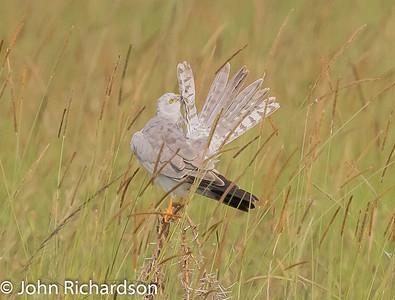 Pallid Harrier (Circus macrourus) - Serengeti