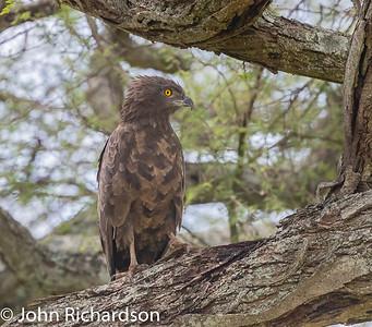 Brown Snake-Eagle (Circaetus cinereus) - Tarangire