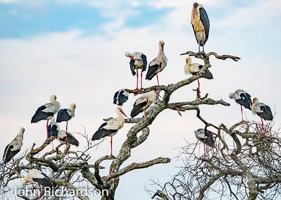 White Stork (Ciconia ciconia), Marabou Stork (Leptoptilos crumenifer) - Ndutu