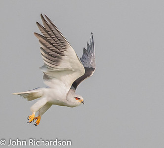 Black-winged Kite (Elanus caeruleus) - Serengeti