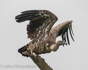 Ruppell's Griffon Vulture (Gyps rueppellii, Ruppell's Vulture) - Ndutu