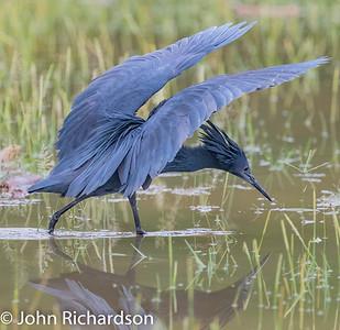 Black Heron (Black Egret - Egretta ardesiaca) - Lake Manyara