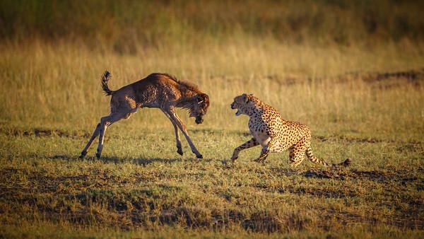 Cheetah Kills