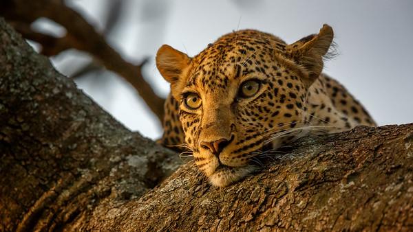 Leopards, Tanzania Feb 2015