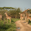 Mother Masai giraffe and babies.  One of several adults with babies from 2 weeks to 5 months.  Mwiba Lodge, Tanzania