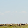 Great migration.  Over 150 Eland on horizon, Legendary Tented Camp, Tanzania  (Photograph by Lee Whittam)