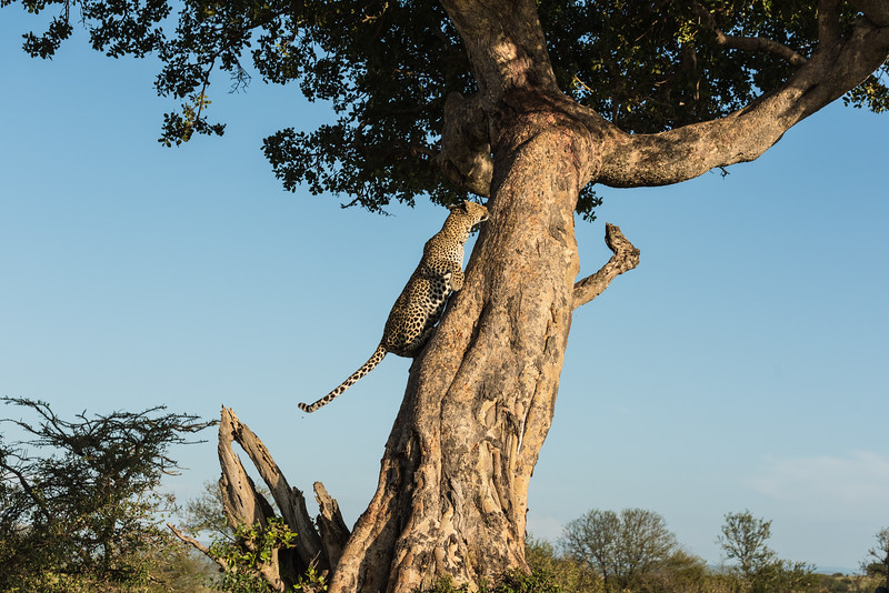 Leopard moving toward its kill in a tree, Lamai Serengeti, Tanzania