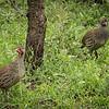 Grey breasted spurfowl, Mbono Camp, Tanzania