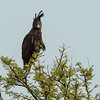 Long crested eagle, Lamai Serengeti, Tanzania