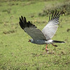 Pale chanting goshawk catching lizard, Mwiba Lodge, Tanzania