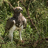 Martial eagle eating dwarf mongoose, Lamai Serengeti, Tanzania