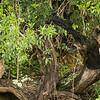 Spotted eagle owl with junvenile to the right, Lamai Serengeti, Tanzania