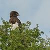Black crested snake eagle, Lamai Serengeti, Tanzania