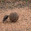 Dung beetle, Mbono Camp, Tanzania