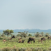 Scences of the Great Migration (wildebeests and calves born within the last week), Mwiba Lodge, Tanzania
