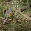 Silverbird, Mbono Camp, Tanzania