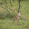 Crowned lapwing, Mbono Camp, Tanzania
