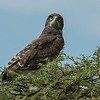 Black chested snake eagle, Mwiba Lodge, Tanzania