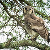 Young Verreaux's eagel owl, Mwiba Lodge, Tanzania.  This  youngster kept stretching out neck and moving his head in cricle as it watched us.